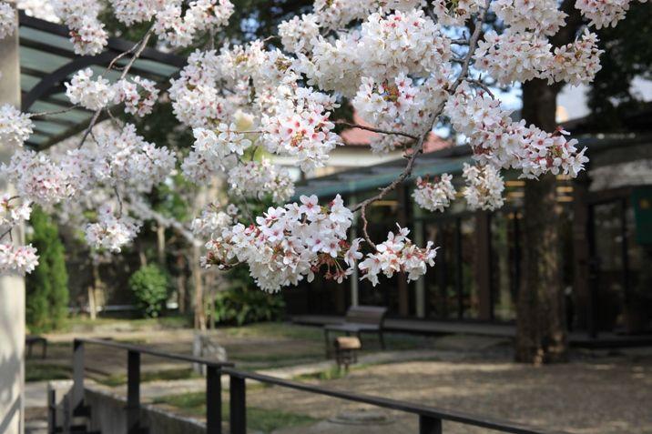 4月、満開の桜。夜はライトアップされます。