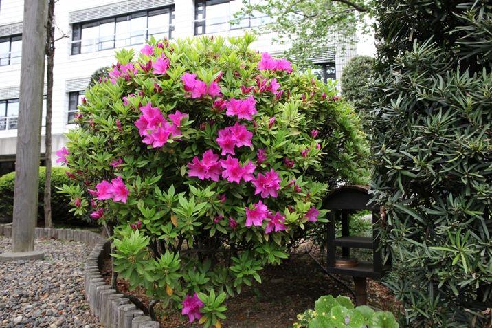 5月、ピンク色のつつじが満開になると、少し小さなさつきの花が開きます。